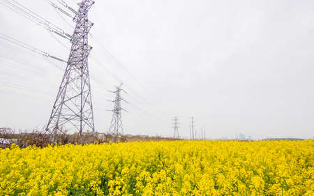 field of rapeseed (brasica napus) and high voltage pole in Shanghai photo