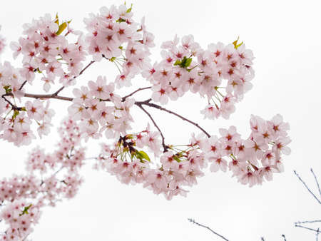 Spring flowers series, beautiful Cherry blossom , pink sakura flowers isloated in white background