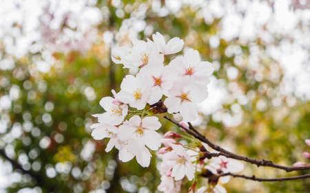 Spring flowers series beautiful cherry blossom pink sakura spring flowers series beautiful cherry blossom pink sakura flowers its offical name is mightylinksfo