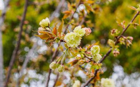 Spring flowers series beautiful cherry blossom green sakura spring flowers series beautiful cherry blossom green sakura flowers the offical name is mightylinksfo