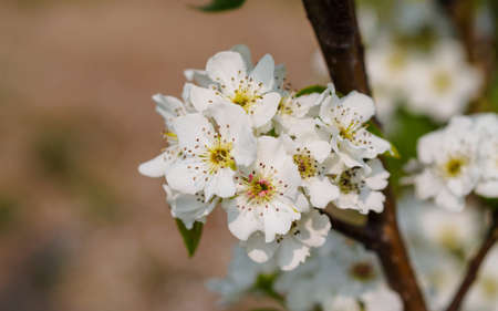 Spring flowers series, pear blossom in field photo