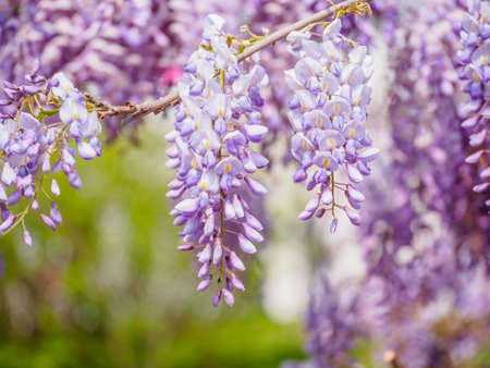 Spring flowers series, purple Wisteria Banque d'images