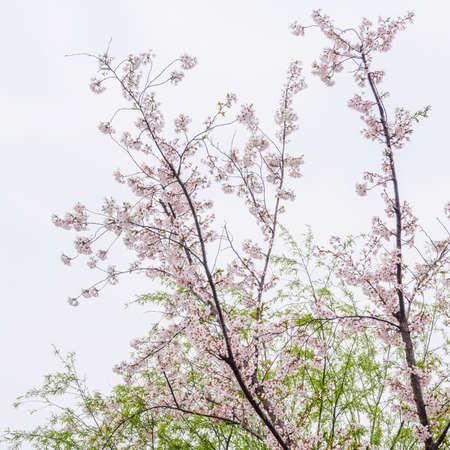 Spring flowers series, beautiful Cherry blossom , pink sakura flowers photo