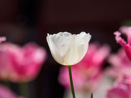 Spring flowers series, single white tulip among pink tulips in sun shine photo