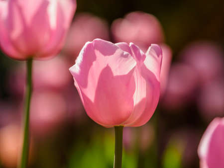 Spring flowers series, pink tulips against strong sun shine with the amazing transparent petals photo