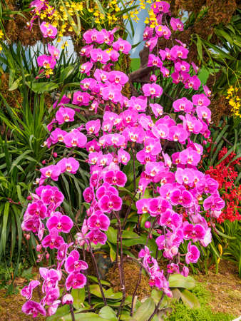 Beautiful orchid - phalaenopsis, against natural green background in greenhouse photo