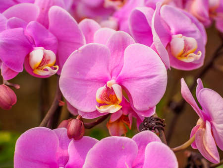 Beautiful orchid - phalaenopsis, against natural green in greenhouse photo