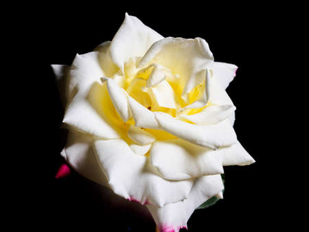 Summer flowers series, single yellow China rose with red edge isolated in black background photo