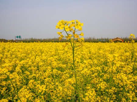 napus: Yellow field full of rapeseed (brasica napus) in Shanghai Stock Photo