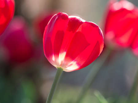 Spring flowers series, red tulips against strong sun shine with the amazing transparent petals photo