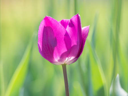 Spring flowers series, purple tulips against strong sun shine with the amazing transparent petals photo