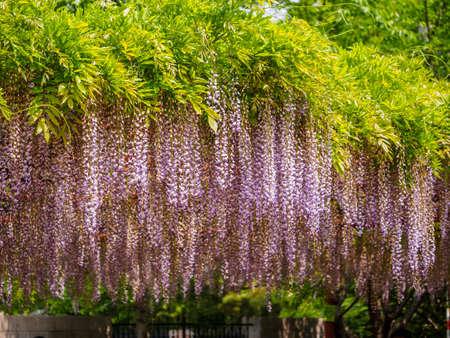 Spring flowers series, purple Wisteria, a genus of flowering plants in the pea family, Fabaceae