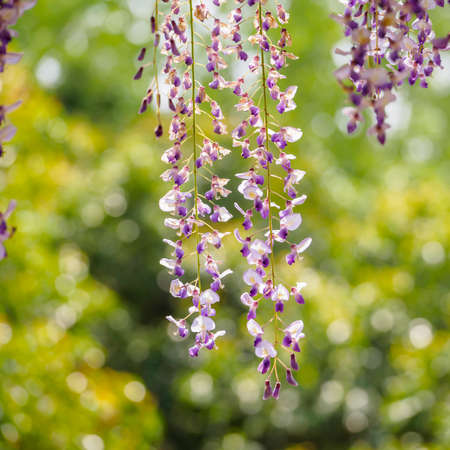 Spring flowers series,  Wisteria trellis, it is a genus of flowering plants in the pea family, Fabaceae photo