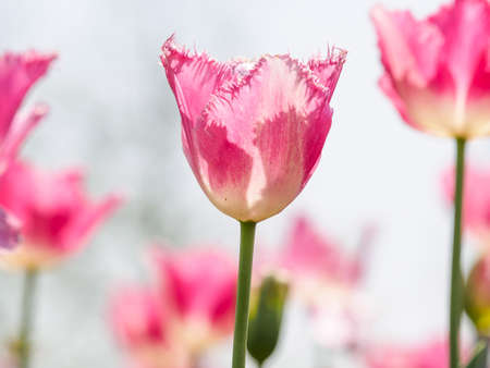 jag: Spring flowers series, pink tulips with jaggy petals against strong sun shine, very charming transparent petals Stock Photo