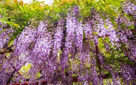 fabaceae: Spring flowers series,  Wisteria trellis, it is a genus of flowering plants in the pea family, Fabaceae