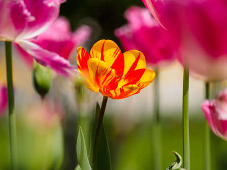 Beautiful dual color ( yellow and red ) tulip against strong sun shine with the amazing transparent petals among pink tulips photo
