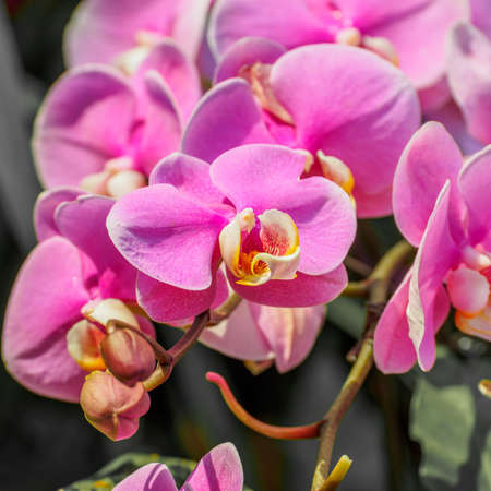 Beautiful orchid, phalaenopsis, against faded background photo