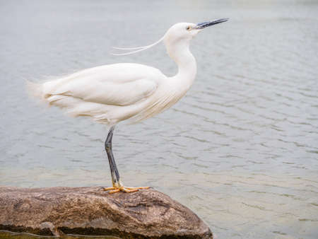 Snowy Egret (Egretta thula) Standing on rocks in the water, Shanghai, China photo