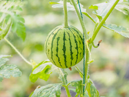 villus: Organic agriculture, watermelon planting new approach, watermelon hanging on vine in the greenhouse