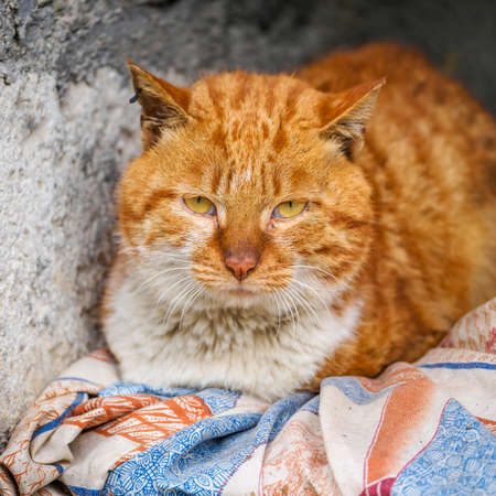 Ginger cat with huge fluffy fur lying on her bed, actually she has only one leg left, so she can't go anywhere. Stock Photo - 28871517