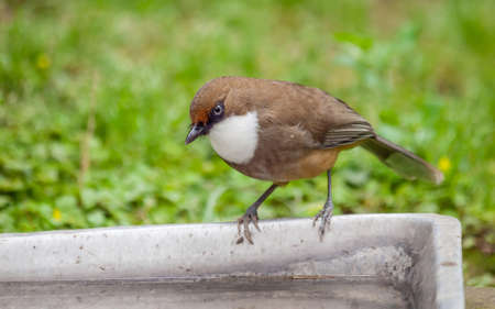 brown throated: Small brown bird looking around in nature