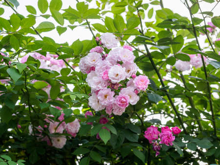 group of pink rose in the garden Banque d'images
