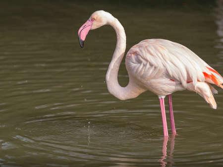 Greater Flamingo, Phoenicopterus ruber, beautiful pink big bird in water.
