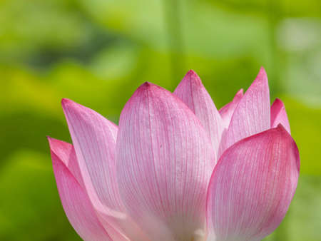 Summer flowers series, beautiful pink lotus flowers.