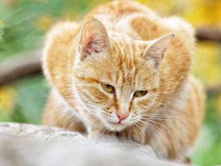 Yellow cat sit in the loaf pose in autumn park, eyes half closed, and its body looks like a love heart. Banque d'images