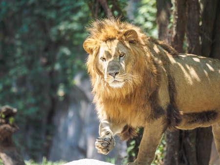 Male lion. Banque d'images
