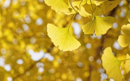 Ginkgo leaves (Ginkgo biloba) in autumn