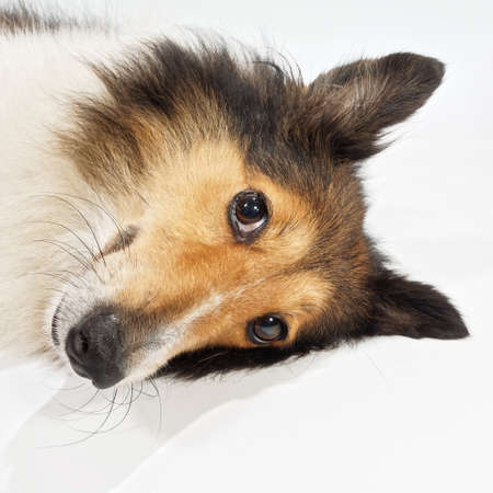 Dog, Shetland sheepdog, collie, Pleased dog lying and looking away. Studio shot. Banque d'images