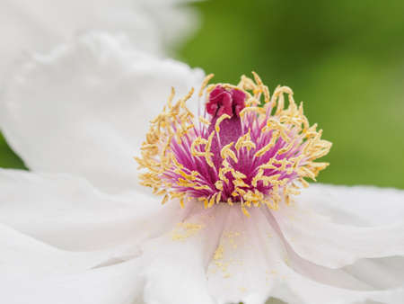 Spring flowers series, white peony in the garden. Banque d'images