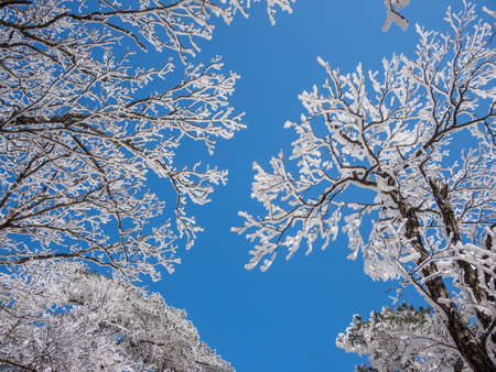 Snow scene on huangshan mountain, and tree branches under the snow. Huangshan National park is Chinas most famous and beautiful scenic spots.
