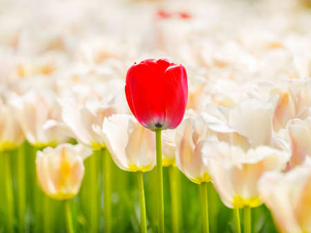 Spring flowers series, beautiful red tulips in tulip field with blur foreground and background.