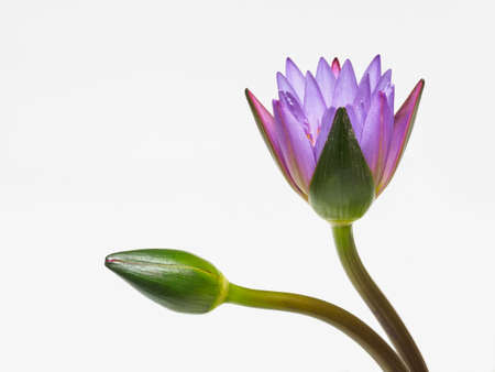 Beautiful purple waterlily flower and bud isolated on white background.