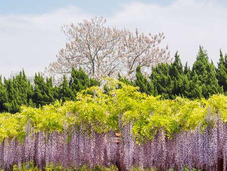 Spring flowers series, wisteria trellis in garden