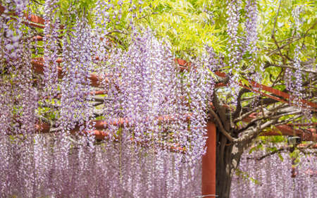 Série de fleurs de printemps, treillis de glycine dans le jardin Banque d'images - 76069922