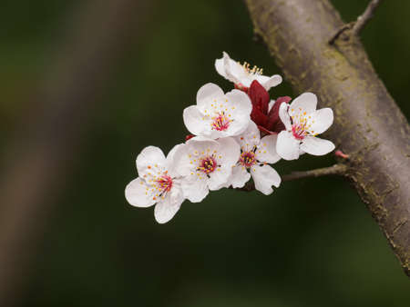 Spring flowers series: Prunus cerasifera or common names cherry plum and myrobalan plum branch with flowers and leaves. Banque d'images