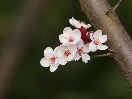 Spring flowers series prunus cerasifera or common names cherry spring flowers series prunus cerasifera or common names cherry plum and myrobalan plum branch with mightylinksfo