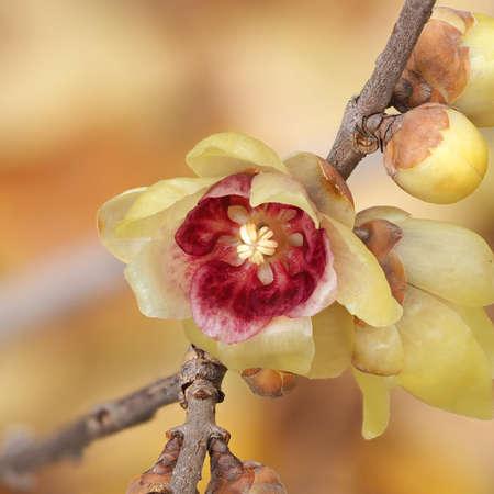 Macro de la fleur de Chimonanthus, hivers, genre de plantes à fleurs dans la famille Calycanthacea Banque d'images - 76069928