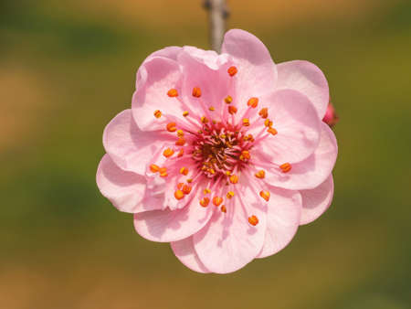 Flowers in spring series: plum blossoms in park. Banque d'images