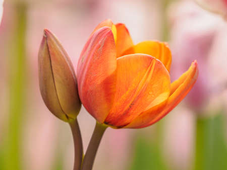 Spring flowers series, Tulip. Banque d'images