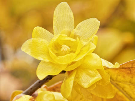 Macro of the flower of Chimonanthus, wintersweet, genus of flowering plants in the family Calycanthacea
