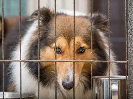dog in cage series--Shetland sheepdog