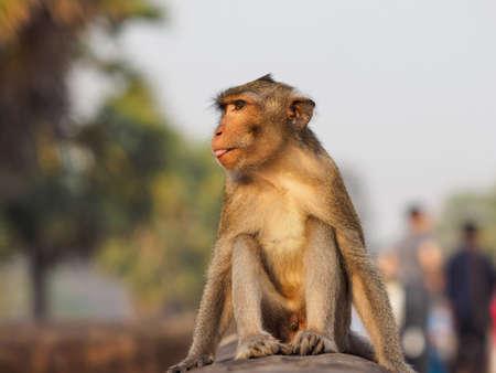 Wild monkey in Ankgor Wat, Siem Reap, Cambodia.