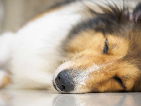 Close-up face of cute sheepdog sleep on one's side (lean) with eyes closed, focus on nose, Shallow Depth of Field Banque d'images