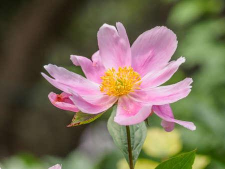 Série de fleurs d'été, belles fleurs de pivoine rose dans le jardin. Banque d'images - 76069997
