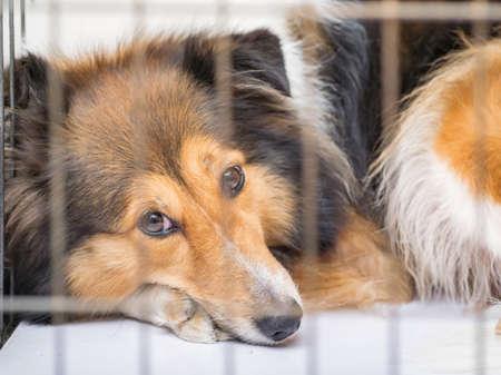 Série Dog in Cage - Shetland sheepdog Banque d'images - 76070004