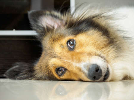Close-up face of cute sheepdog sleep on one's side (lean) with eyes open, focus on eyes, Shallow Depth of Field